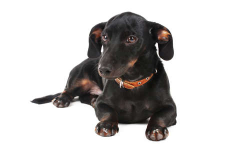 black little dachshund dog isolated on white Stock Photo - 12098646