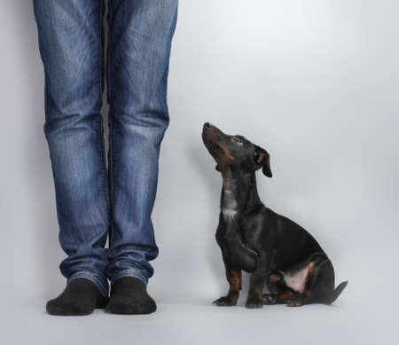 black little dachshund dog on gray background Stock Photo - 12099043