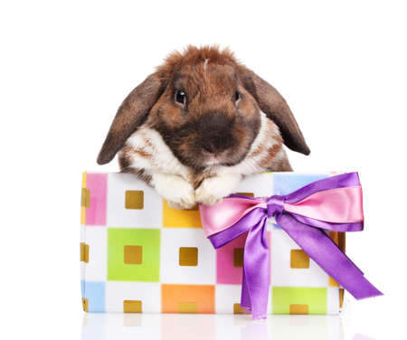 Lop-eared rabbit in a gift box with purple bow isolated on white Stock Photo - 12102035