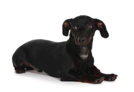 black little dachshund dog isolated on white photo