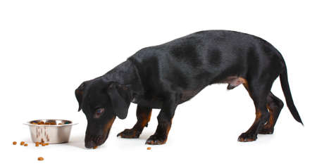 cur: black little dachshund dog and food isolated on white