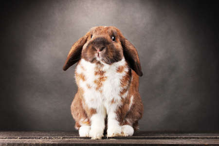 Lop-eared rabbit on grey background photo