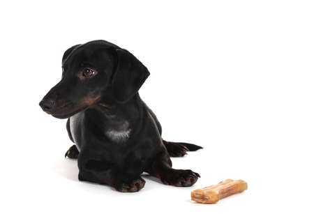 black little dachshund dog and bone isolated on white photo