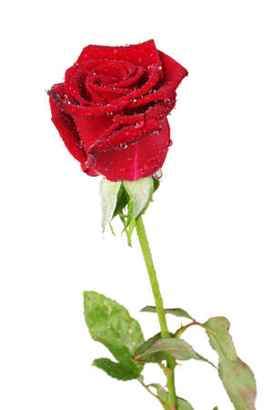 beautiful red rose isolated on white Фото со стока