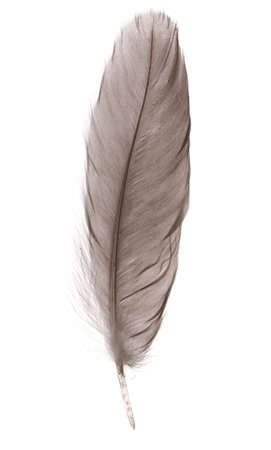 pattern: Single fluffy feather isolated on white Stock Photo