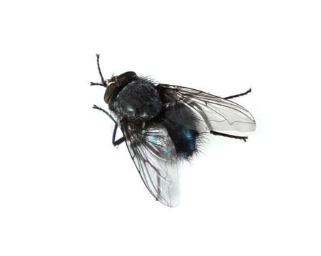 Home-fly isolated on white photo