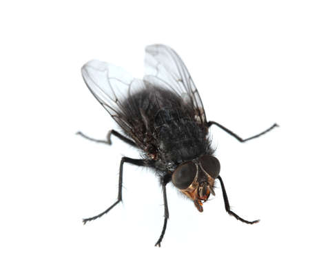 malady: Home-fly isolated on white