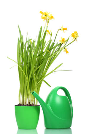 beautiful yellow daffodils in flowerpot and watering can isolated on white photo