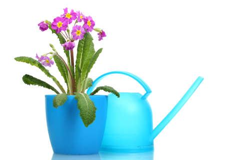 Beautiful purple primrose in a flowerpot and watering can isolated on white photo