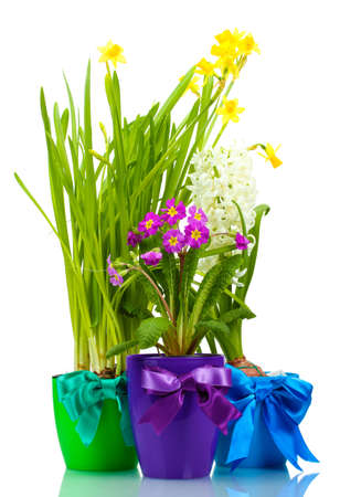 beautiful spring flowers in pots isolated on white Stock Photo - 12431822