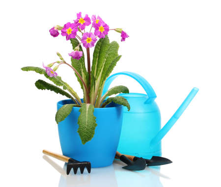 Beautiful purple primrose in a flowerpot, garden tools and watering can isolated on white photo