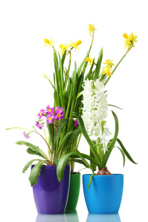 beautiful spring flowers in pots isolated on white photo