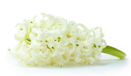 ornamental horticulture: beautiful white hyacinth isolated on white
