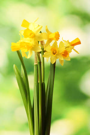 beautiful yellow daffodils on green background Stock Photo - 12436537