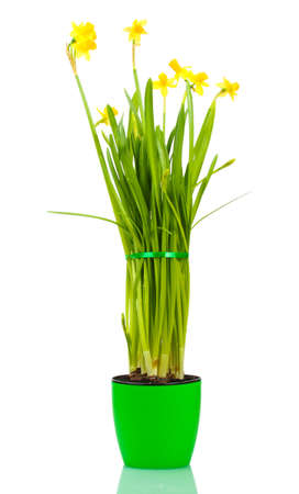 beautiful yellow daffodils in a flowerpot isolated on white Stock Photo - 12549292