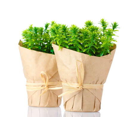 thyme herb plants in pots with beautiful paper decor isolated on white photo