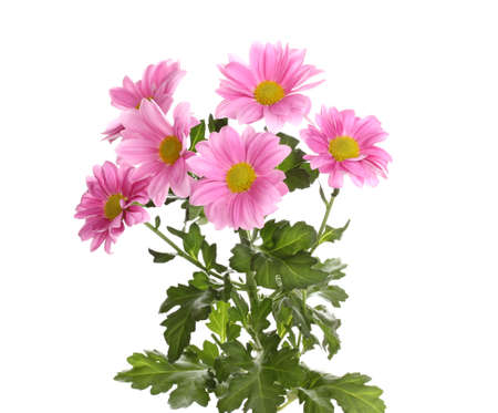 Pink chrysanthemum flowers isolated on white photo