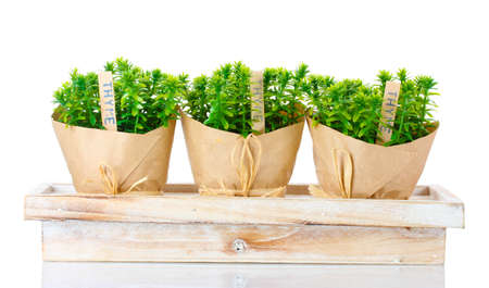 thyme herb plants in pots with beautiful paper decor on wooden stand isolated on white photo