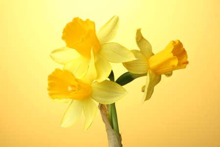 beautiful yellow daffodils on yellow background photo
