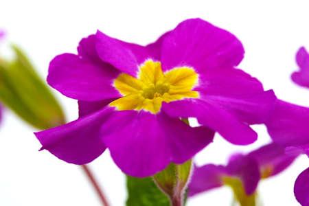 Beautiful purple primrose isolated on white photo