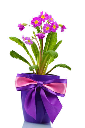 Beautiful purple primrose in a flowerpot isolated on white photo