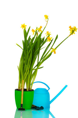 beautiful yellow daffodils, watering can and garden tools isolated on white Stock Photo - 12562731