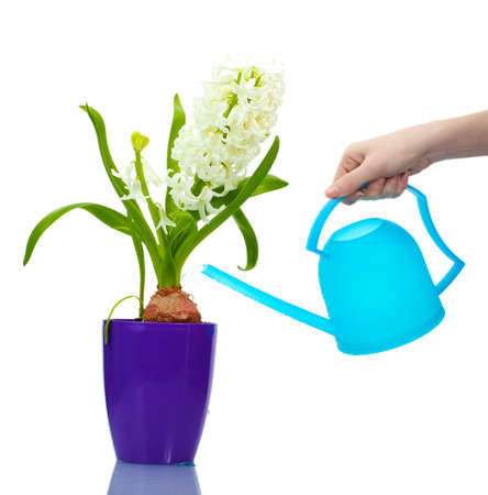 beautiful white hyacinth in purple flowerpot and watering can isolated on white photo