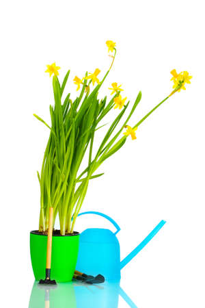 beautiful yellow daffodils, watering can and garden tools isolated on white photo