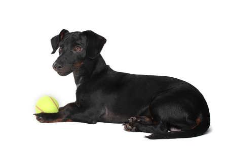 black little dachshund dog and ball isolated on white photo