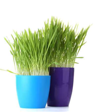 beautiful grass in a flowerpots isolated on white photo