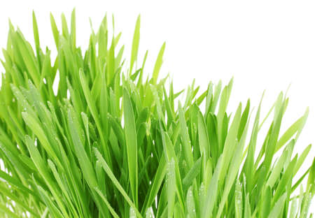 beautiful green grass isolted on white photo
