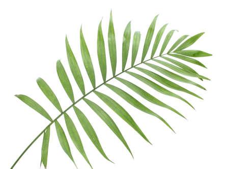hamedoreya: beautiful green palm leaf isolated on white