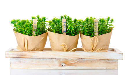 thyme herb plants in pots with beautiful paper decor on wooden stand isolated on white Stock Photo - 12799594