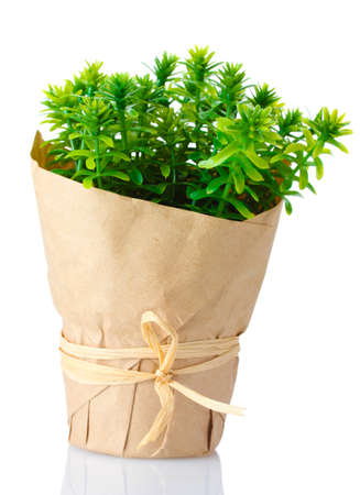 thyme herb plant in pot with beautiful paper decor isolated on white Stock Photo - 12799694