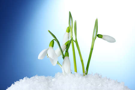 beautiful snowdrops in snow on blue background photo