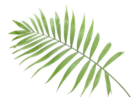 palm fruits: beautiful green palm leaf isolated on white