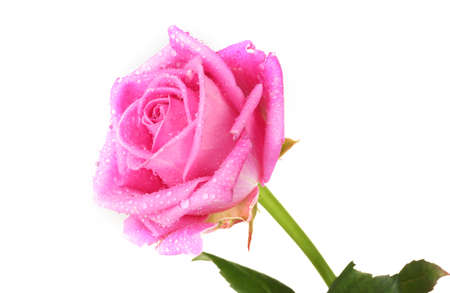 Pink rose isolated on white photo