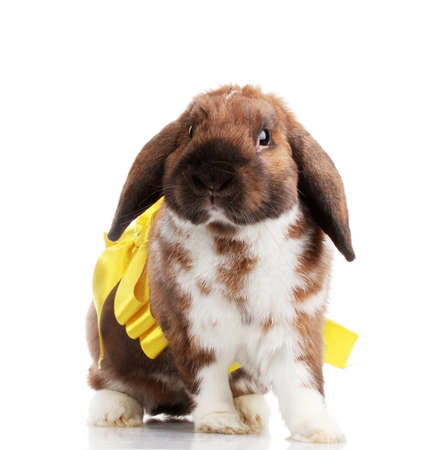 Lop-eared rabbit with yellow bow isolated on white photo