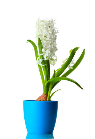 beautiful white hyacinth in blue flowerpot isolated on white photo