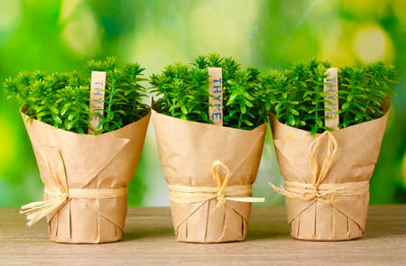 thyme herb plants in pots with beautiful paper decor on wooden table on green background Stock Photo - 12979803