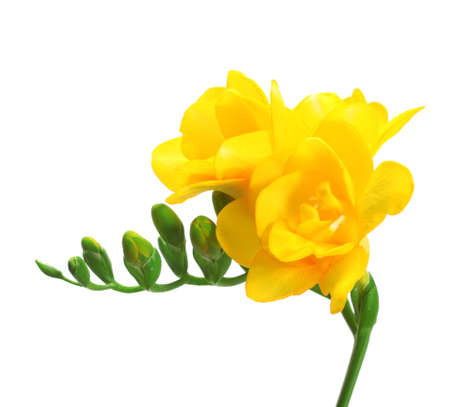 Beautiful yellow freesia isolated on white photo