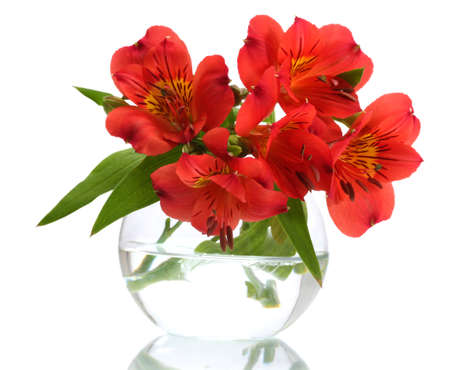 alstromeria: alstroemeria red flowers in vase isolated on white