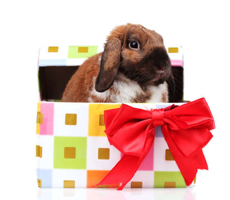 Lop-eared rabbit in a gift box with red bow isolated on white Stock Photo - 13099403