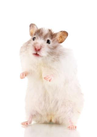 rata: H�mster lindo pie aislado blanco