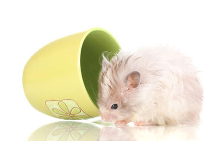 Cute hamster in cup isolated white Stock Photo - 13162913
