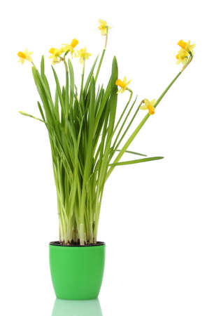 beautiful yellow daffodils in a flowerpot isolated on white photo