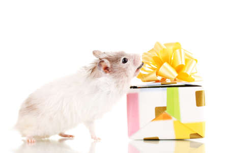 Cute hamster and gift box isolated white Stock Photo - 13234385