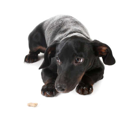 black little dachshund dog isolated on white Stock Photo - 13355610