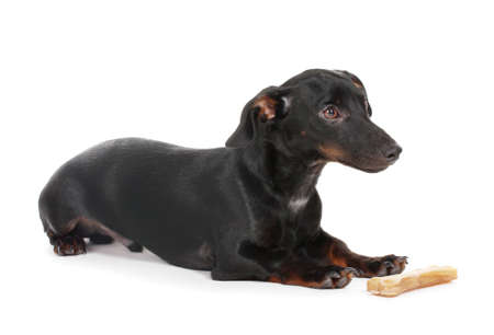 black little dachshund dog and bone isolated on white Stock Photo - 13355634