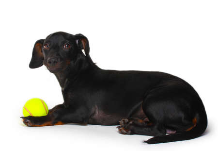 black little dachshund dog and ball isolated on white photo